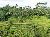 φωτογραφισμένο πεζούλι ρυζιού του Μπαλί η Ινδονησία Στοκ εικόνα με δικαίωμα ελεύθερης χρήσης