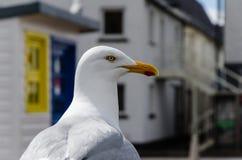φωτογραφισμένο σώμα seagull νότιο Τέξας ΗΠΑ κινηματογραφήσεων σε πρώτο πλάνο christi Στοκ εικόνες με δικαίωμα ελεύθερης χρήσης
