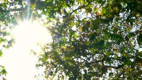 Φωτός του ήλιου μέσω των φύλλων ενός δέντρου την πτώση ή το φθινόπωρο απόθεμα βίντεο