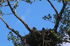Φωλιά αετών Στοκ φωτογραφία με δικαίωμα ελεύθερης χρήσης