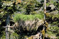 Φωλιά αμερικανικός φαλακρός αετός στη νοτιοανατολική Αλάσκα Στοκ Φωτογραφίες