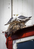 Φωλιά γλάρων σε ένα παράθυρο Στοκ φωτογραφίες με δικαίωμα ελεύθερης χρήσης