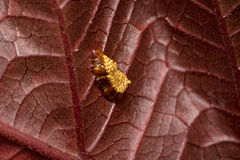 Φωλιά εντόμων Madure σε ένα κόκκινο φύλλο δέντρων στοκ φωτογραφία