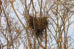 Φωλιά κισσών, ακολουθίες στους ανώτερους κλάδους ενός δέντρου στοκ εικόνες