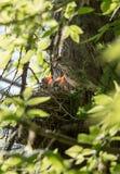 Φωλιά με την κεδρότσιχλα νεοσσών Στοκ εικόνα με δικαίωμα ελεύθερης χρήσης
