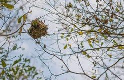 Φωλιά μυρμηγκιού στον κλάδο Στοκ εικόνα με δικαίωμα ελεύθερης χρήσης