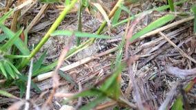 Φωλιά μυρμηγκιών στο περιβάλλον φύσης Πλήρες HD 1080p απόθεμα βίντεο