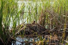 Φωλιά πουλιού στο φυσικό βιότοπο Στοκ φωτογραφίες με δικαίωμα ελεύθερης χρήσης