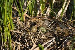 Φωλιά πουλιού στο φυσικό βιότοπο Στοκ Εικόνα