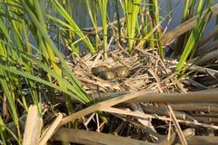 Φωλιά πουλιού στο φυσικό βιότοπο Στοκ φωτογραφία με δικαίωμα ελεύθερης χρήσης
