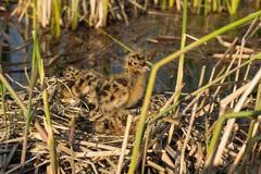 Φωλιά πουλιού στο φυσικό βιότοπο Στοκ εικόνα με δικαίωμα ελεύθερης χρήσης