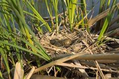 Φωλιά πουλιού στο φυσικό βιότοπο Στοκ Φωτογραφίες