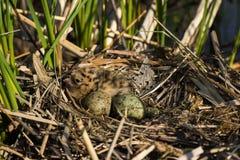 Φωλιά πουλιού στο φυσικό βιότοπο Στοκ Εικόνες