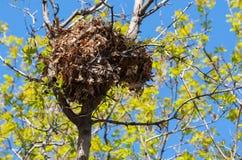 Φωλιά σκιούρων δέντρων υψηλή επάνω σε ένα δέντρο Στοκ Εικόνες