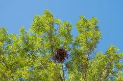Φωλιά σκιούρων υψηλή επάνω σε ένα φυλλώδες δέντρο Στοκ φωτογραφίες με δικαίωμα ελεύθερης χρήσης