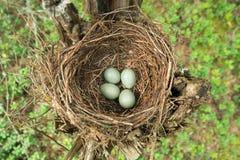 Φωλιά της τσίχλας Turdus με τα αυγά στοκ εικόνα με δικαίωμα ελεύθερης χρήσης