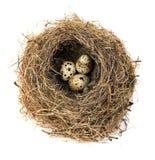 Φωλιά του αρχικού πουλιού με την κινηματογράφηση σε πρώτο πλάνο αυγών ορτυκιών που απομονώνεται σε ένα άσπρο υπόβαθρο Στοκ Εικόνες