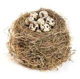 Φωλιά του αρχικού πουλιού με την κινηματογράφηση σε πρώτο πλάνο αυγών ορτυκιών που απομονώνεται σε ένα άσπρο υπόβαθρο Στοκ Φωτογραφίες
