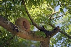 Φωλιά του καστανοκοκκινωπού ovenbird Στοκ εικόνες με δικαίωμα ελεύθερης χρήσης