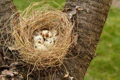 Φωλιά των ορτυκιών με τα αυγά σε ένα δέντρο στο ξύλο Στοκ Εικόνα
