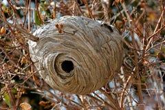 Φωλιά Hornet σε ένα μικρό δέντρο Στοκ φωτογραφία με δικαίωμα ελεύθερης χρήσης