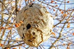 Φωλιά Hornets Στοκ Εικόνες