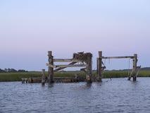 Φωλιά Osprey Στοκ Φωτογραφίες