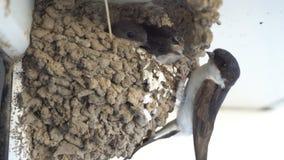 Φωλιές αργίλου που βρίσκονται στον τοίχο του σπιτιού, κάτω από μια στέγη Καταπιείτε τους νεοσσούς είναι τρόφιμα, μύγες και τους τ απόθεμα βίντεο