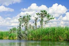 Φωλιές κορμοράνων στα δέντρα στο δέλτα Δούναβη στοκ εικόνα