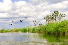 Φωλιές κορμοράνων στα δέντρα στο δέλτα Δούναβη στοκ φωτογραφίες με δικαίωμα ελεύθερης χρήσης