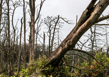 Φωλιές κορμοράνων στα νεκρά δέντρα πεύκων Στοκ Εικόνες