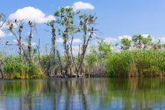 Φωλιές κορμοράνων στο δέντρο στοκ εικόνα με δικαίωμα ελεύθερης χρήσης