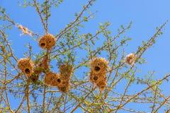 Φωλιές πουλιών υφαντών στοκ φωτογραφίες με δικαίωμα ελεύθερης χρήσης