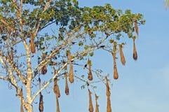 Φωλιές Oropendola σε ένα Cannonball δέντρο στοκ φωτογραφία