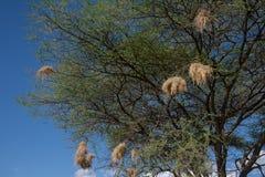 Φωλιές Weaverbird στο δέντρο ακακιών στοκ φωτογραφία
