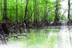 Φω'τα δασών και ήλιος-ακτίνων μαγγροβίων Στοκ Εικόνες