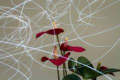 Φω'τα Anthuriums και ημέρας Στοκ φωτογραφία με δικαίωμα ελεύθερης χρήσης