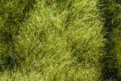 Φύκια που κολυμπούν στη θάλασσα Η ακτή της Νορβηγίας στοκ εικόνες