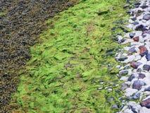 Φύκια ως σχέδιο στην παράκτια γραμμή Βόρεια Θάλασσας στοκ φωτογραφίες με δικαίωμα ελεύθερης χρήσης
