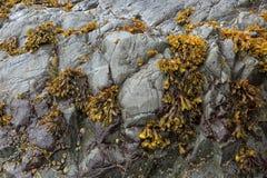 Φύκια Bladderwrack που προσκολλώνται στο βράχο κατά μήκος της ακτής του Όρεγκον στοκ εικόνα