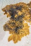 Φύκι κύστεων στην παραλία στοκ εικόνες με δικαίωμα ελεύθερης χρήσης