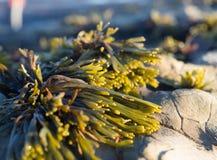 Φύκι στους βράχους Στοκ φωτογραφία με δικαίωμα ελεύθερης χρήσης