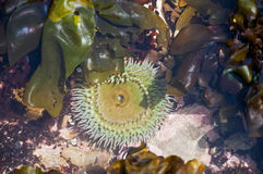 φύκι anemone starburst Στοκ Φωτογραφίες