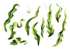 Φύκι Laminaria, κατσαρό λάχανο θάλασσας Στοιχεία αλγών καθορισμένα Superfood Συρμένη χέρι απεικόνιση Watercolor, που απομονώνεται διανυσματική απεικόνιση