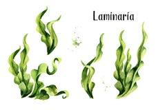 Φύκι Laminaria, κατσαρό λάχανο θάλασσας Σύνολο σύνθεσης αλγών Superfood Συρμένη χέρι απεικόνιση Watercolor, που απομονώνεται στο  απεικόνιση αποθεμάτων