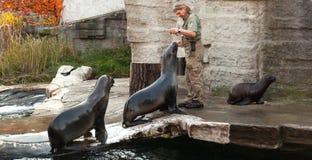 Φύλακας ζωολογικών κήπων των λιονταριών θάλασσας τροφών ζωολογικών κήπων της Βιέννης στοκ φωτογραφία με δικαίωμα ελεύθερης χρήσης