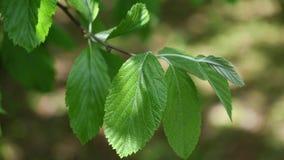 Φύλλα άνοιξη του δέντρου Sorbus Aria Whitebeam ελαφρώς που κινείται στο αεράκι, 4K απόθεμα βίντεο