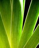 φύλλα ίριδων στοκ εικόνες με δικαίωμα ελεύθερης χρήσης