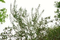 Φύλλα αβοκάντο που απομονώνονται στο άσπρο υπόβαθρο στοκ φωτογραφία με δικαίωμα ελεύθερης χρήσης