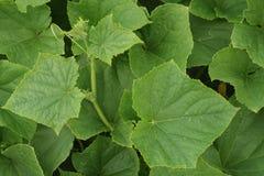 φύλλα αγγουριών Στοκ Εικόνες